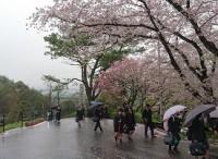 満開の桜の下を登校する生徒
