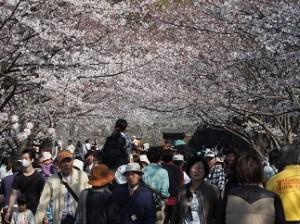 桜のトンネルを通って移動