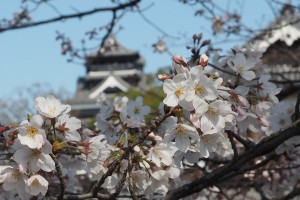桜の開花はこれぐらい